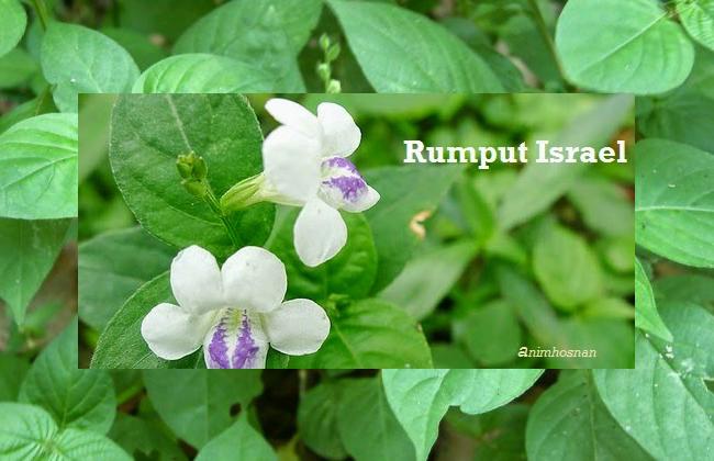 Rumput Israel Dapat Merawat Penyakit Barah
