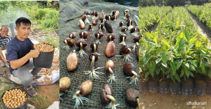Banyak Kali Tanam Tapi Tidak Tumbuh, Begini Cara Semai Biji Durian Yang Betul!