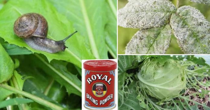Cara Mudah Selesaikan Masalah Serangga Perosak Tanaman, Guna Baking Powder Saja