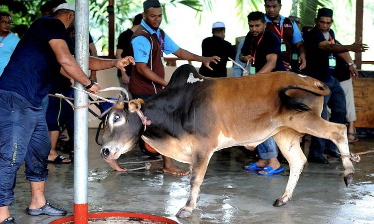 Hukum Berkongsi Korban dan Aqiqah Pada Sembelihan Lembu/Unta yang Sama